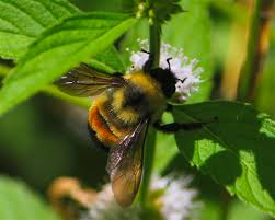 bumblebee gets a helping hand from endangered species act mnn