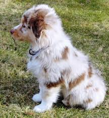 australian shepherd miniature best 25 australian shepherd names ideas on pinterest australian