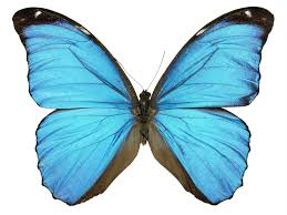scientist grows butterfly wing in laboratory the independent