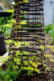 43 best golden hops images on pinterest climbing gardens and
