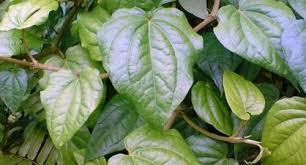 cara mengatasi jerawat secara alami dengan daun sirih ora sehat