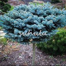 blue spruce trees 2018 bag blue spruce trees bonsai blue spruce seeds picea pungens