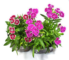 dianthus flower how to grow dianthus plants in pots