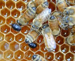 small hive beetle control video tutorial keeping backyard bees