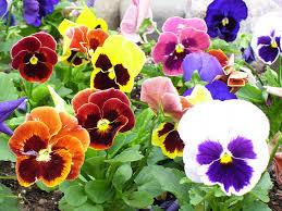 immagini di giardini fioriti una bellissima bordura di piante e fiori commestibili codiferro