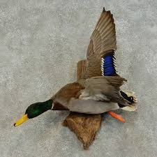 Mallard Duck Home Decor Mallard Duck Drake Bird Mount For Sale 16428 The Taxidermy Store