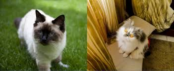 cute cat breeds a list of the cutest cat breeds ever