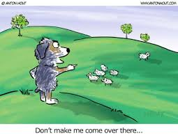 australian shepherd herding sheep australian shepherd lovers newsletter how gassy is your aussie