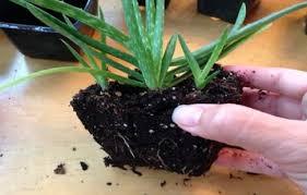plante d駱olluante chambre une usine à oxygène dans votre intérieur cette plante