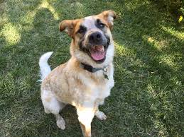 belgian sheepdog idaho nampa id anatolian shepherd meet averie a dog for adoption