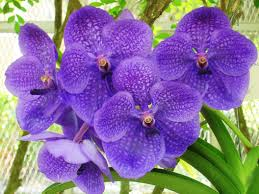 purple orchid flower how to care for orchids flower inspirationseek