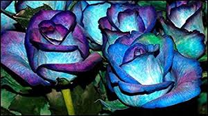 Teal Roses Amazon Com Blues Blue Rose Bush 20 Seeds Rare Garden U0026 Outdoor
