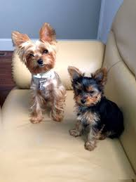 female yorkie haircuts styles wavy hair yorkie hairs picture gallery