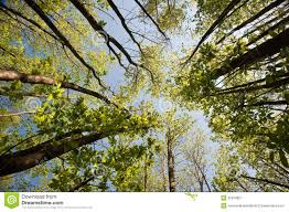 view looking up through canopy of beech trees royalty free stock