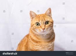 beautiful domestic orange striped cat animal stock photo 334690814