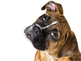 Wallpaper Dog Boxer Dog Wallpaper Hd Wallpaper Wiki