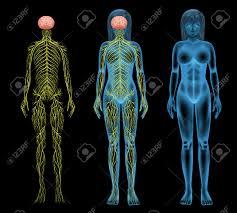 Nervous System Human Anatomy Human Nervous System Stock Photos Royalty Free Human Nervous