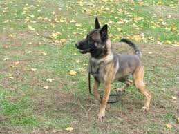 belgian sheepdog mn ask a trooper does the state patrol use dogs hometown source