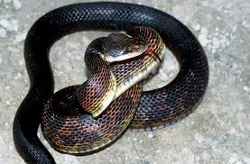 snake identification key snake atrn snr university of