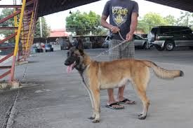 belgian shepherd for sale philippines belgian malinois pcci papers for sale