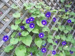glory u0027s garden good morning glories