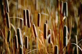 native pond plants for sale cattails
