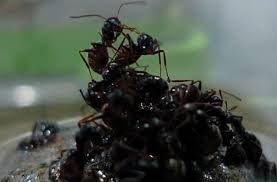 rafting ants have designated stations inkfish