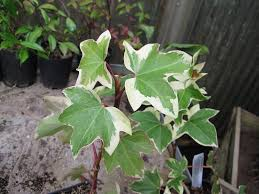 Indoor Vine Plant Fatshedera Lizei Tree Ivy Indoor Requirements For Tree Ivies