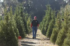georgia christmas tree farm thrives in the land of palms and live oaks