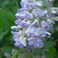 commercialization and licensing woody ornamentals minnesota hardy