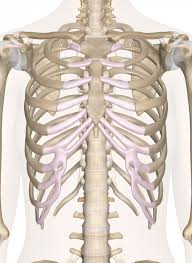 Photos Of Human Anatomy Of The Chest And Upper Back