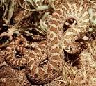 Western Hognose Snake | Sensational Serpents sensationalserpents.com