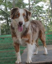 australian shepherd breeders near me smith farm australian shepherd breeder lexington alabama