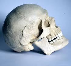 Human Anatomy Skull Bones 162 Best Anatomy Skulls U0026 Bones Images On Pinterest Bones