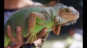 imágenes de iguanas verdes que comen las iguanas verdes youtube