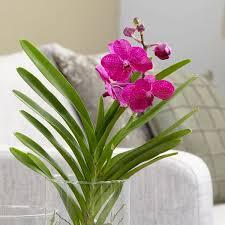 vanda orchids buy vanda orchid in a glass vase vanda tayanee cerise delivery
