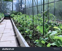 greenhouse for vegetable garden growing vegetables greenhouses made transparent polycarbonate