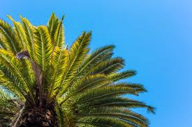 palm tree view from below against clear sky free stock photo