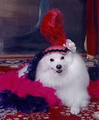 american eskimo dog tattoo american eskimo dog costume google search eskie pades