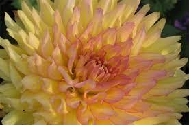 How To Grow A Bulb In A Vase How To Grow Dahlias Overwintering Dahlias Gardener U0027s Supply