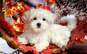 cute fall wallpaper hd cute puppy wallpapers group 79