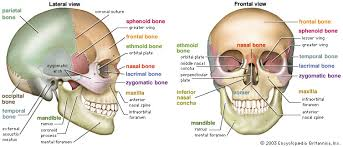 Behind The Ear Anatomy Pain Behind Ear Maybe Tmj Related Spondylitis Association Of