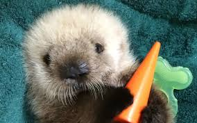 this week in cute zoo animal births a sea otter transfer giant