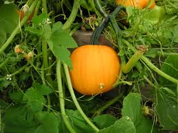planning your fall harvest garden that bloomin u0027 garden