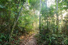 canopy amazon sunlight filters through trees of jungle canopy on pathway in