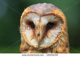 North American Barn Owl North American Barn Owl Stock Photo 376685278 Shutterstock