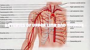 Anatomy The Human Body Veins And Arteries Of The Upper Human Body Tutorial Youtube