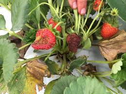 Strawberry Plant Diseases - low tunnels reduce diseases on strawberries
