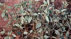 croton pottsii var pottsii leatherweed charles kane