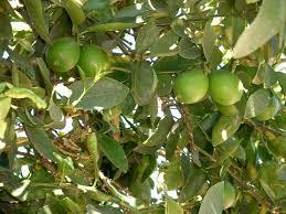 file lime tree limes jpg wikimedia commons